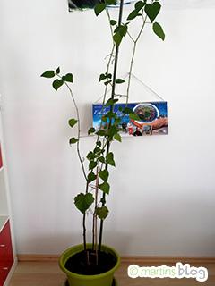 berwinterung meiner physalispflanze martins mein hobby blog. Black Bedroom Furniture Sets. Home Design Ideas