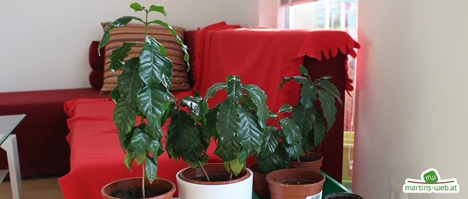 Kaffepflanzen