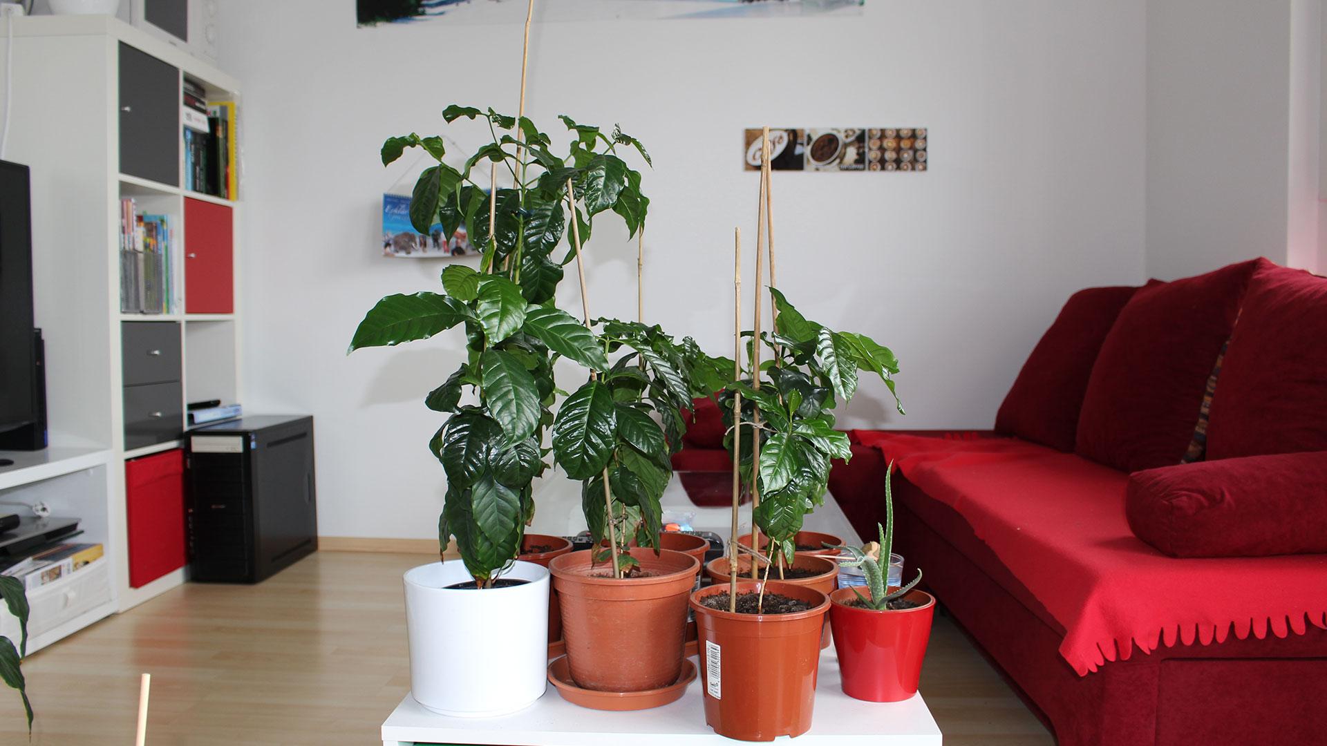 Kaffeepflanzen: 2 Jahre alt