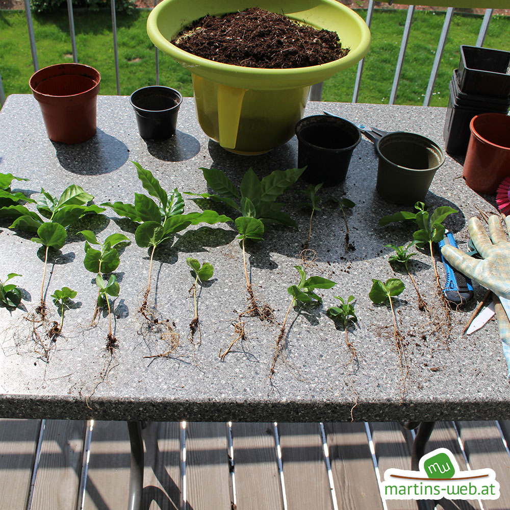 Einzelne Kaffeepflanzen