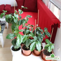Kaffeepflanzen von oben