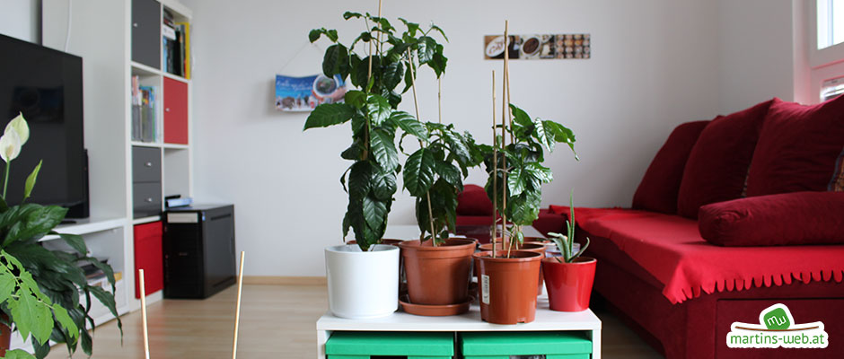 Kaffeepflanzen umgetopft