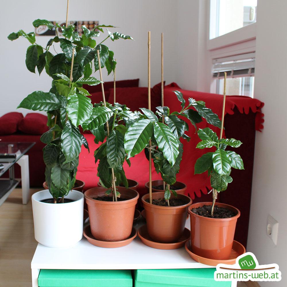 Kaffeepflanzen von vorne