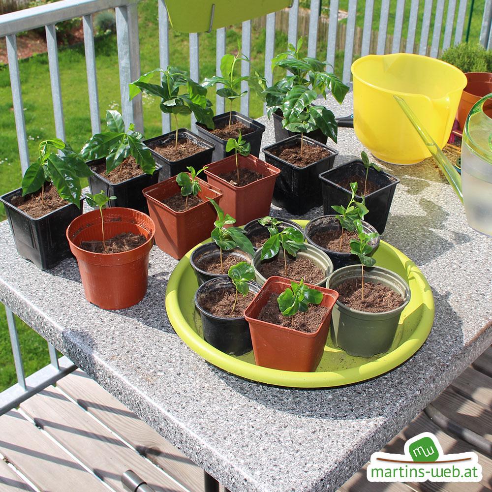 Neue Kaffeepflanzen eingepflanzt