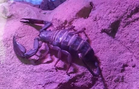 Skorpion im Wüstenhaus