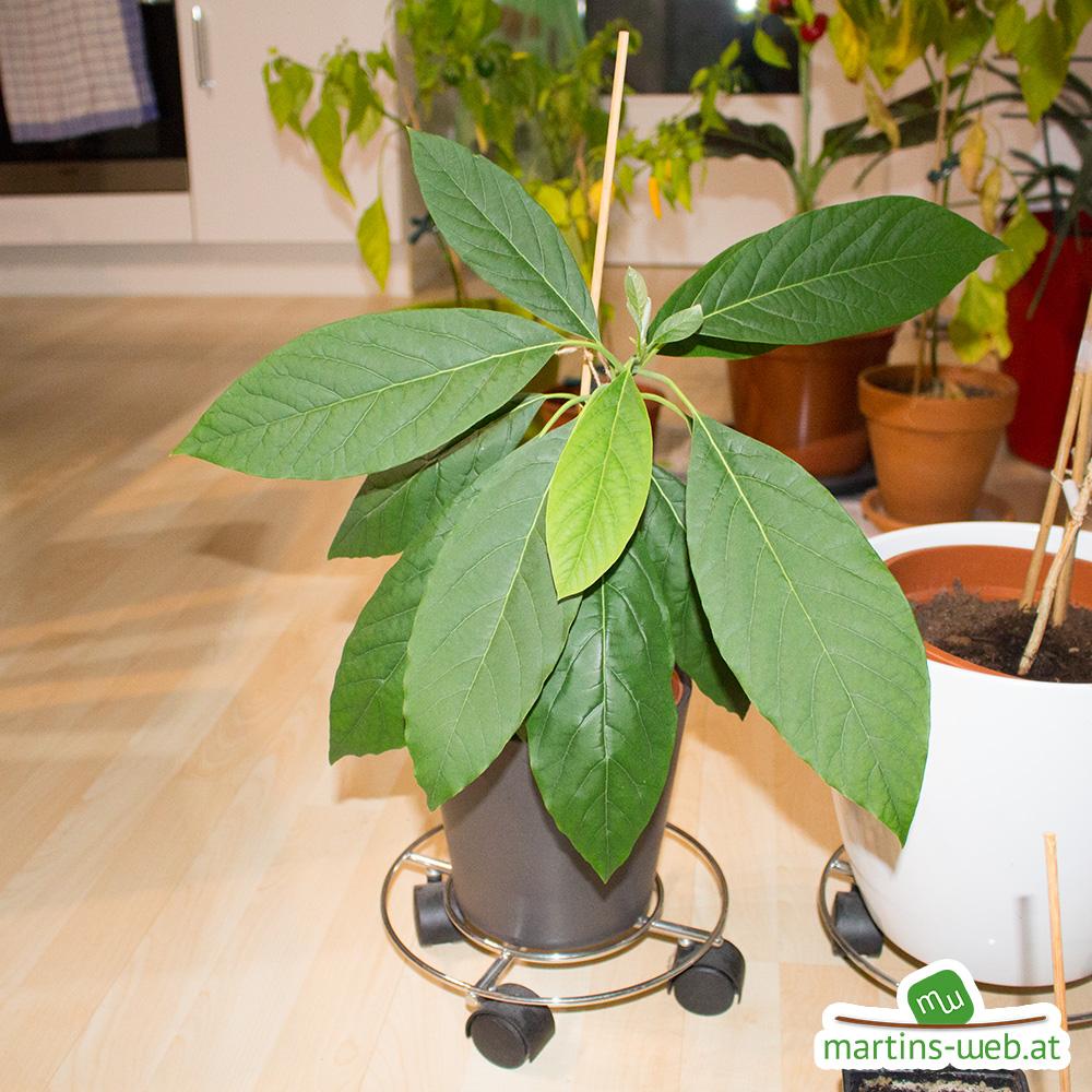 Avocado Oktober Blätter