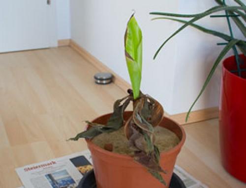 Bananenpflanze adieu?