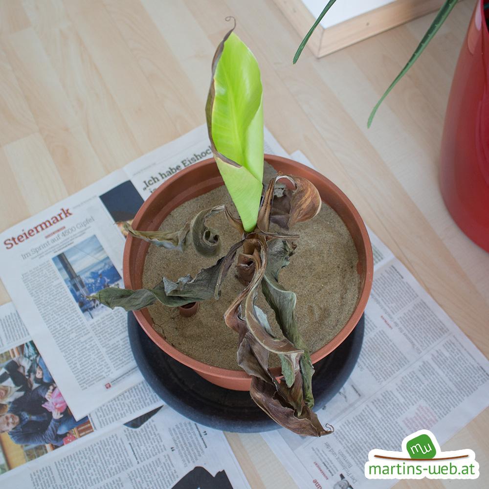 Bananenpflanze, abgestorbene Blätter