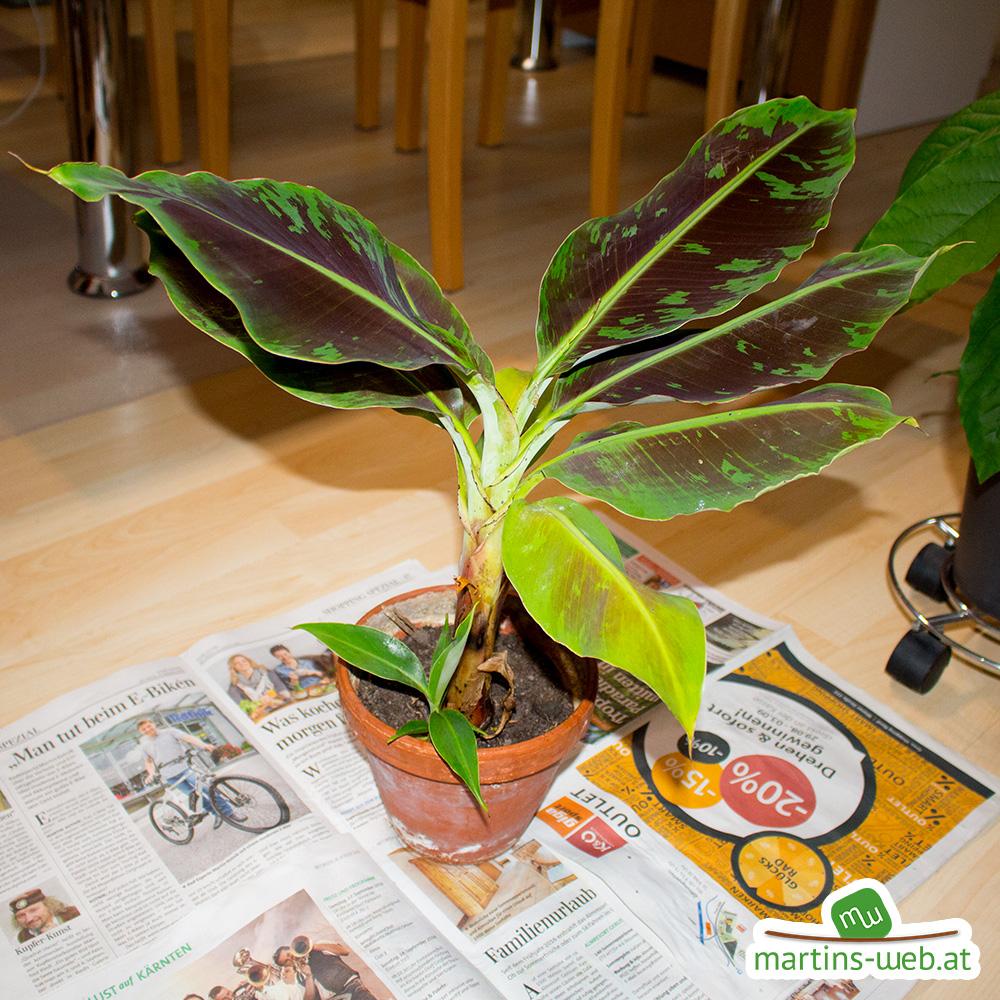 Die beiden Bananenpflanzen zu Beginn