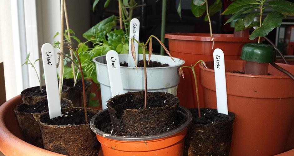 Litschipflanzen