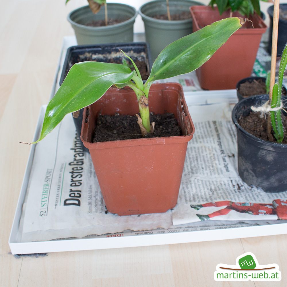 kleine Bananenpflanze