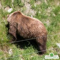 Der wilde Berg - Braunbär