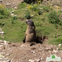 Der wilde Berg - Murmeltier
