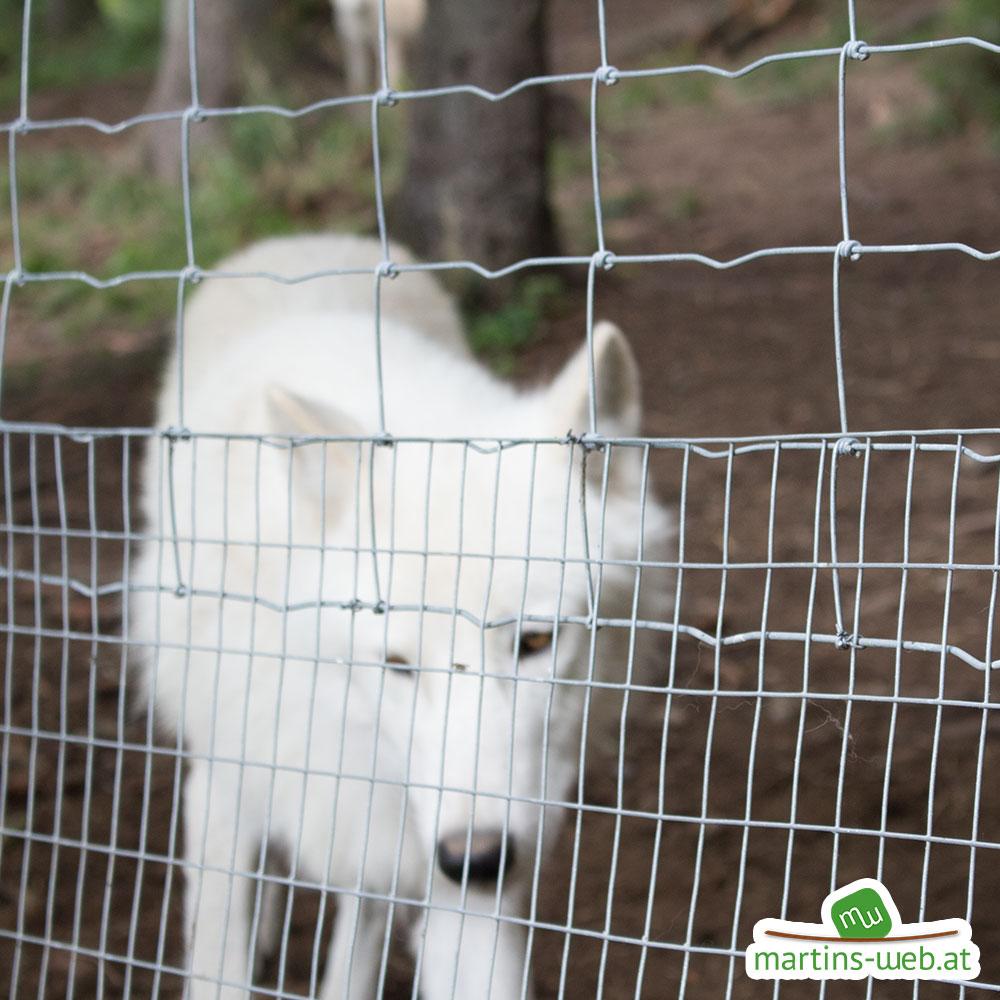 Der wilde Berg - Polarwolf